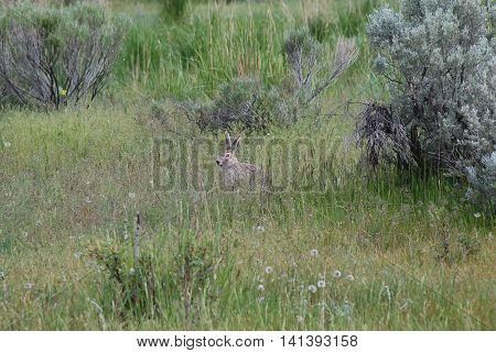 White-tailed Jackrabbit seen in high grass in Mammoth Hot Springs