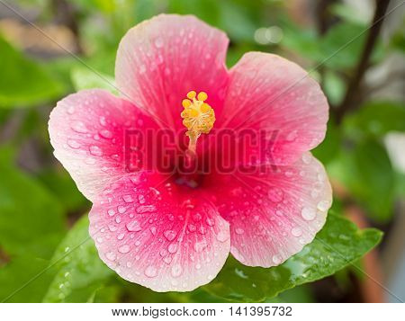 Beautiful pink hibiscus flower on nature background