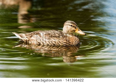 Close-up Portrait Of A Mallard Duck (anas Platyrhynchos) Swimming In Ditch In Summer, Leiden, The Ne