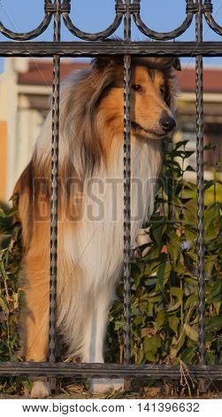 Collie dog looking behing the metal fence