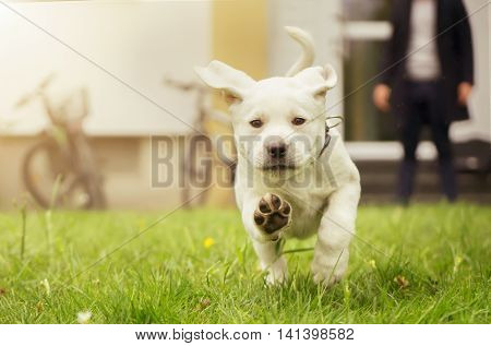 Sweet labrador puppy in a meadow in motion - dog paws