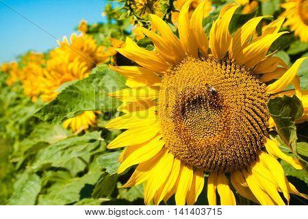 Ripe sunflower on blue sky. Nature landscape