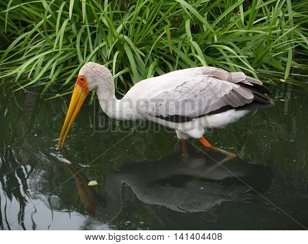 Yellow-billed stork hunting in the water - Mycteria ibis
