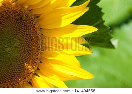 Ripe Sunflower On Blue Sky.