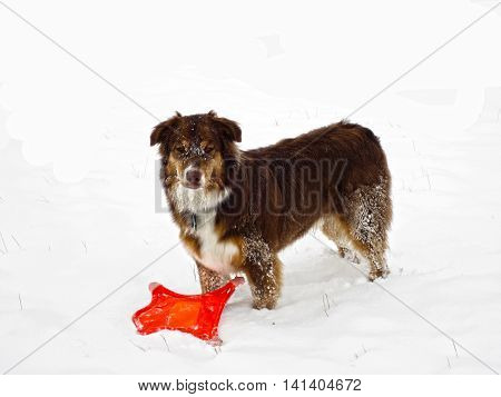 Young Australian brown and white Shepard puppy in the snow