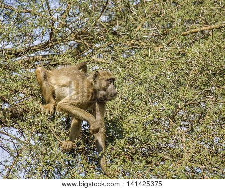chacma baboon eating in a tree in Kruger park, South Africa