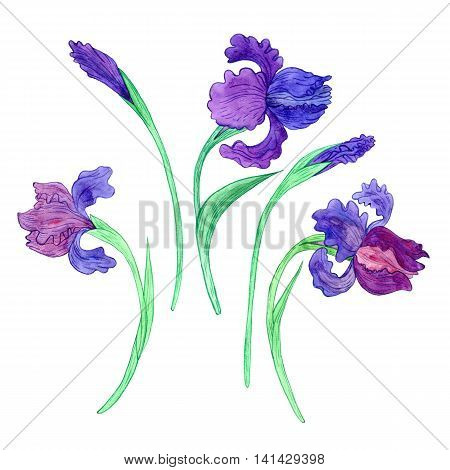 watercoolor drawing blue irises isolated at white background, painting flowers, snowdrops, hand drawn illustration