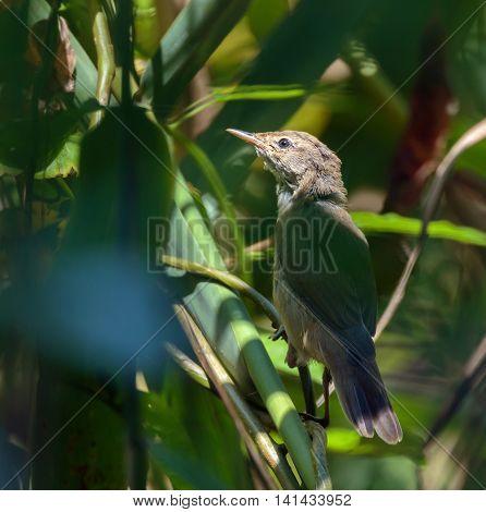 Savi's Warbler In The Reeds