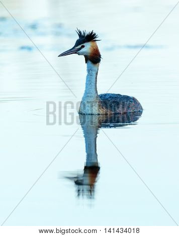 Great Crested Grebe Swimming