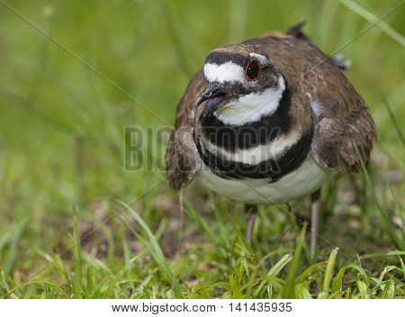 Killdeer that is mad because the photographer is close to her nest