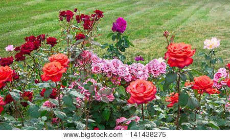 Different roses in rose  garden and copy-space on grass