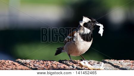 Close up of little male Sparrow with bread