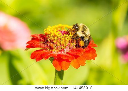 honey bee on red orange yellow flower left side dominate late summer with pollen sacs on legs 2