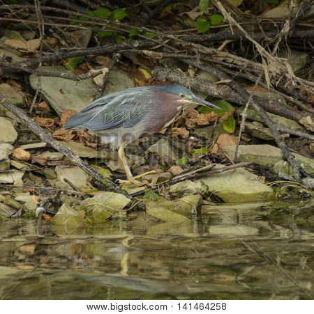 A Green Heron (Butorides virescens) taking a momentary rest in it's search for food.
