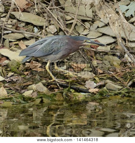 A Green Heron (butorides Virescens) on a rocky shoreline, holding a spider that it has captured.