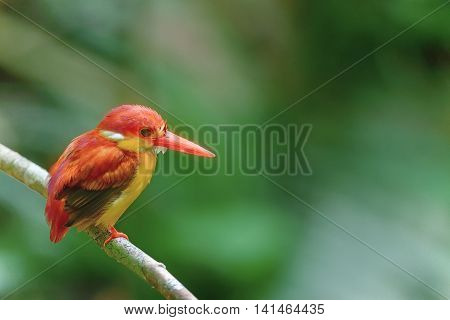 Rufous-backed Kingfisher,beautiful Bird Perching On Branch As Background