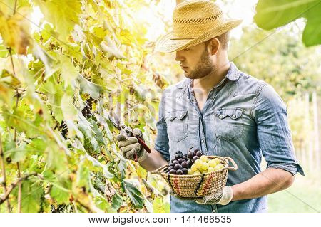Young winemaker cutting grape twigs of biological San Giovese grape from Italy during harvest time with back light - Alternative food concept with bio homemade production - Main focus on grape basket