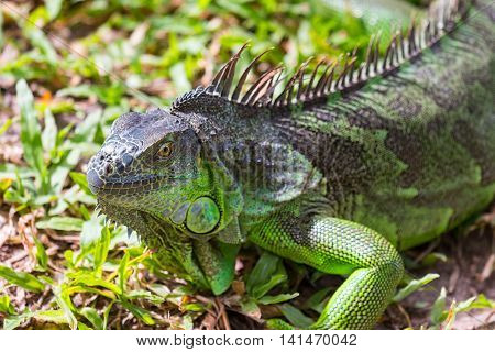 Close up big Green iguana on grass.