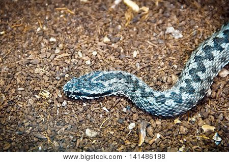 Poisonous blue reptile hunting on the ground
