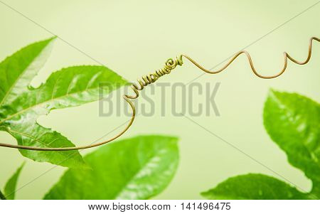 Close Up Of Connected Vine On Light Green Background . Connected Vine With Shallow Depth Of Field. N