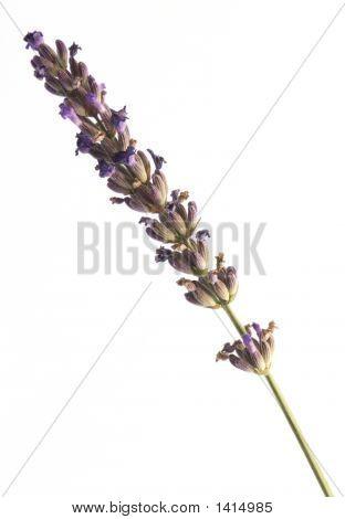 Single Stem Of Lavender Isolated On White Background