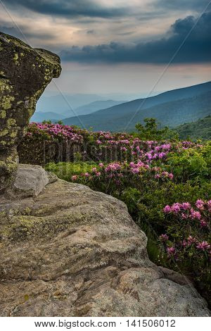 Rhododendron Behind Jane Bald Keyhold View Vertical