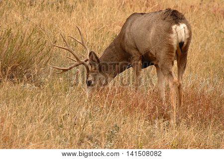 Mule Deer 10-point Buck Feeding In Autumn Field