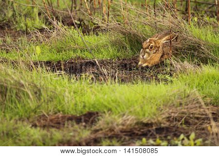 A Black-tailed Jackrabbit Hiding In The Grass Of A California Field.