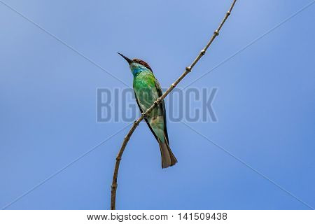 Beautiful Bee-eater bird ( Blue throated Bee eater)