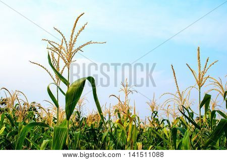 Photo of corn flower at corn field
