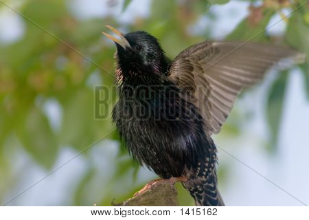 Warbling Starling Bird