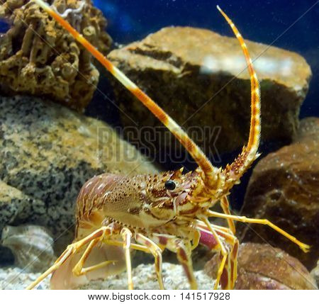 Antenna Lobster
