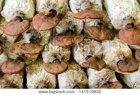 Closeup Lingzhi,Ganoderma lucidum mushrooms in the farm.