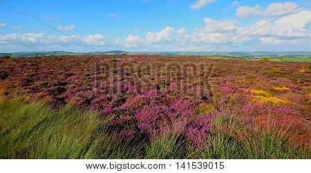 Wildflower meadow in bloom on Hardown Hill near village of Morcombelake in Dorset England