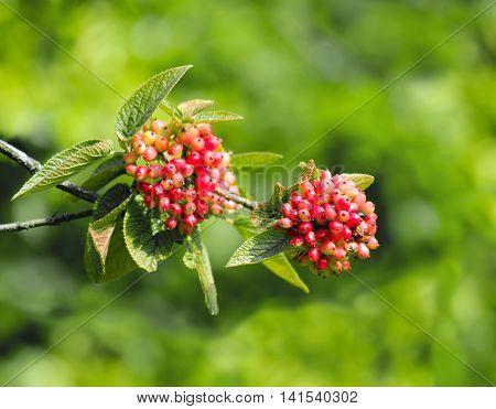 Fruiting wild Guelder Rose in English countryside showing berries and leaves.