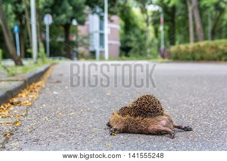 fully grown hedgehog lying dead on the road after being hit by a car