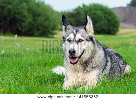 wet fluffy, adult dog alaskan malamute lies in nature late afternoon, portrait in full growth ,  closeup, blue sky and trees in the background, with interest looks aside