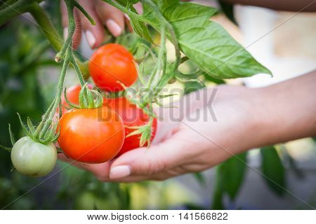 Collecting Red Tomato From Plant Inside Hothouse