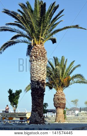 Duet of palm trees on a terrace in Crete.
