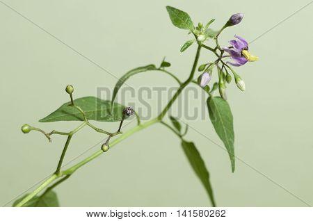 Snakeberry plant over green backgroundclose up shot