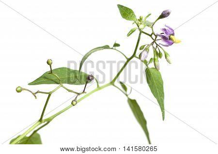 Snakeberry plant over white backgroundclose up shot