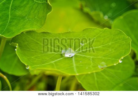 Large water droplet in the center of a leaf