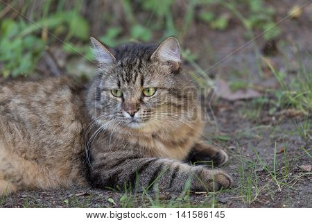 cat in the outdoor lying on the grass