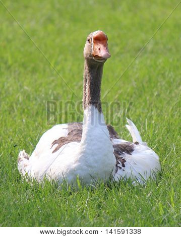 A Chinese goose sits in the lawn