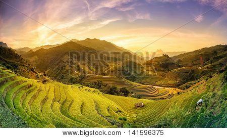 Rice fields on terraced in sunset at Mu chang chai Yen bai Vietnam. Rice fields prepare the harvest at Northwest Vietnam