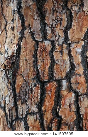 beautiful interesting texture of rough bumpy Crimean pine bark of pine tree foreground closeup poster
