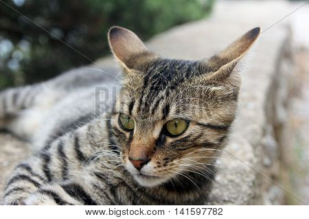 head and face of beautiful crimean non-pedigree tabby eared cat lying on stone parapet and pricked his ears closeup