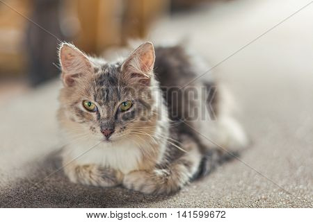 face of young gray a Maine Coon cat