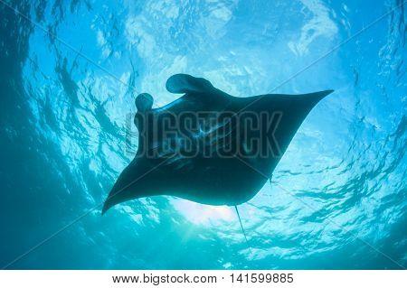 Black Manta Ray (Manta alfredi)