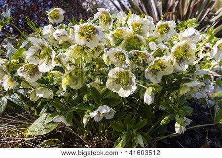 White Christmas Rose (Helleborus) flowering plant in a garden.